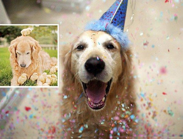 O cão que ficou famoso na web como o mais feliz do mundo, agora adotou uma família de pintinhos