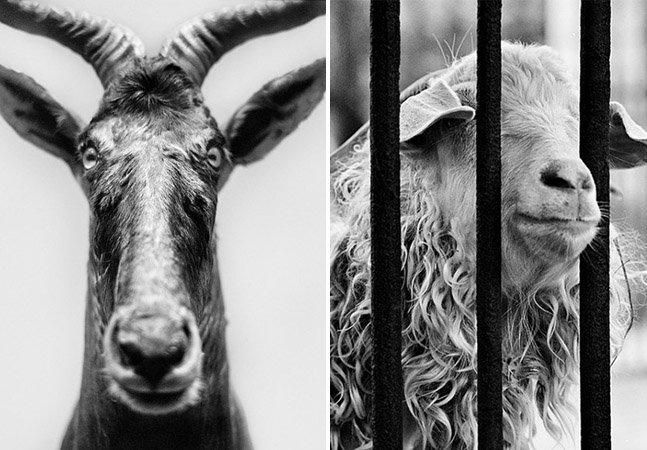 Você consegue distinguir animais tristes num zoológico de animais mortos num museu?