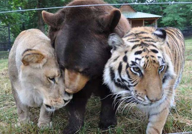 Conheça a inesperada família formada por uma leoa, um tigre e um urso