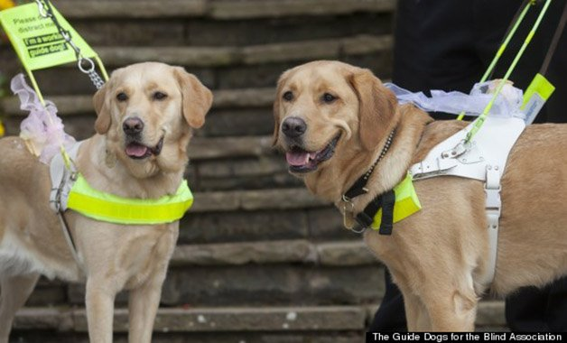 o-BLIND-GUIDE-DOGS-570-2