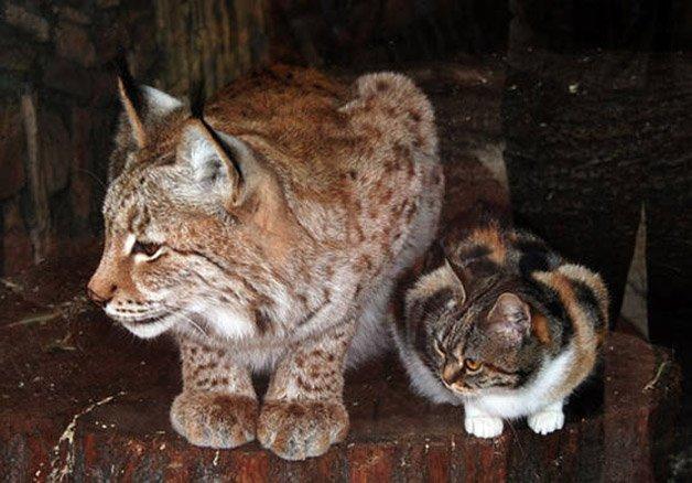 Amizade entre gato e lince