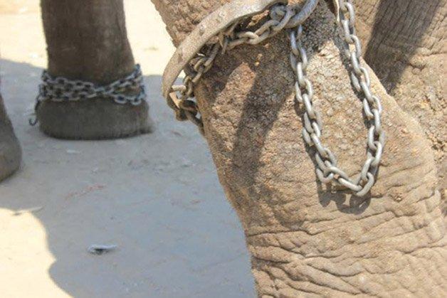 Raju elephant chained_1_0