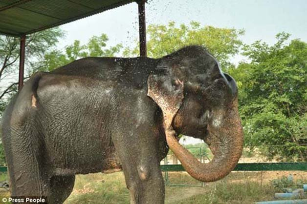 abused-elephant10