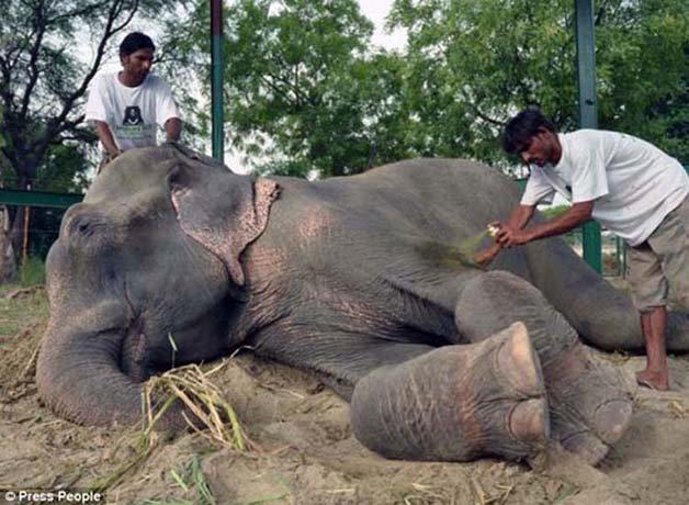 abused-elephant11