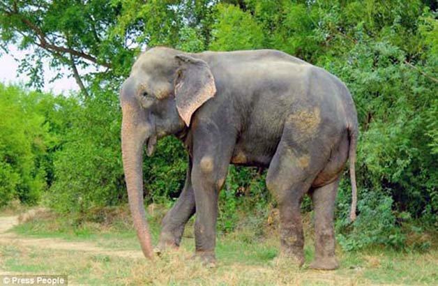 abused-elephant2