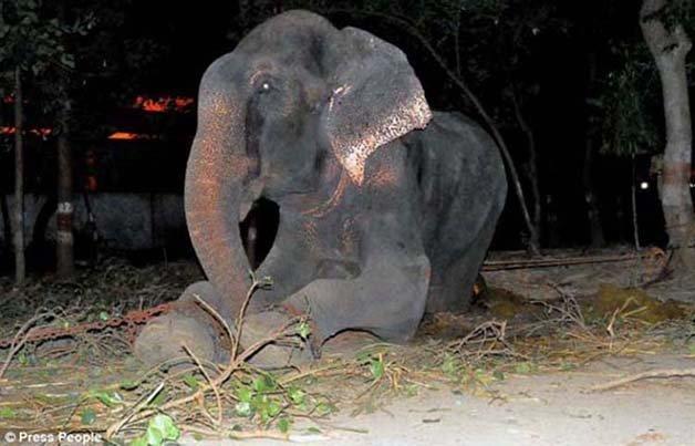 abused-elephant3