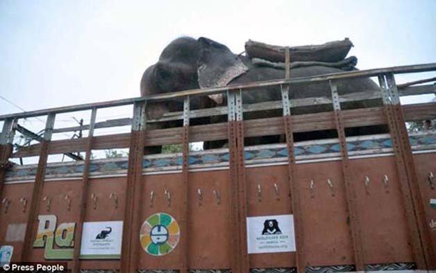 abused-elephant8