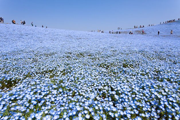 Flores no Hitachi Seaside Park
