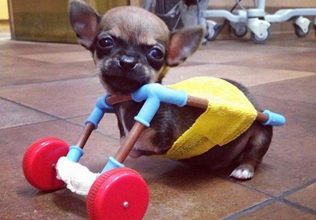 """Cão que nasceu sem as duas patas ganha """"cadeira de rodas"""" feita com peças de brinquedo"""