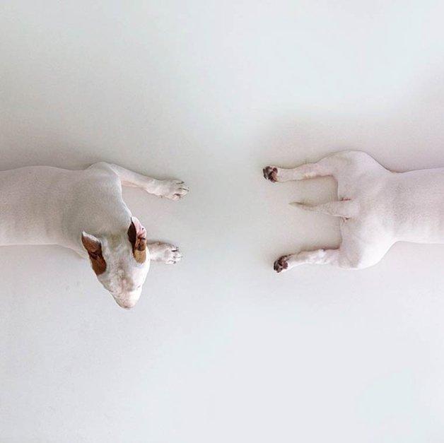 bull-terrier-ilustracoes16