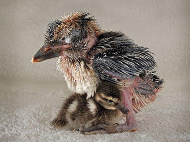 Animal-Friendships-03-DucklingKookaburra-sl