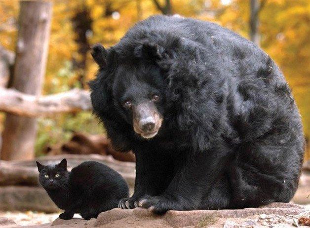 black-cat-black-bear-600x441