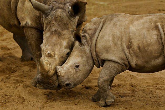 rinoceronte-africa1
