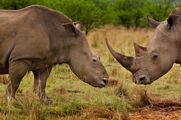 rinoceronte-africa11