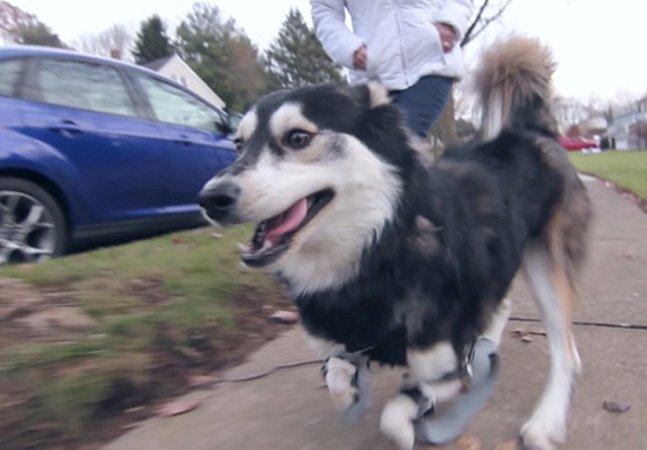 Cachorro com deficiência ganha prótese feita em impressora 3D e hoje corre até 5 km por dia