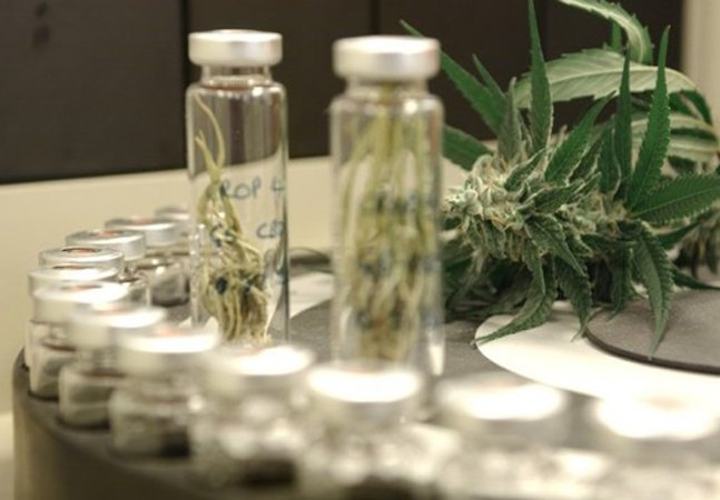 Canabidiol, substância medicinal presente na maconha, é liberado pela Anvisa