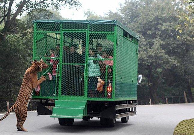 Neste zoológico chinês, é você quem fica preso enquanto os animais passeiam