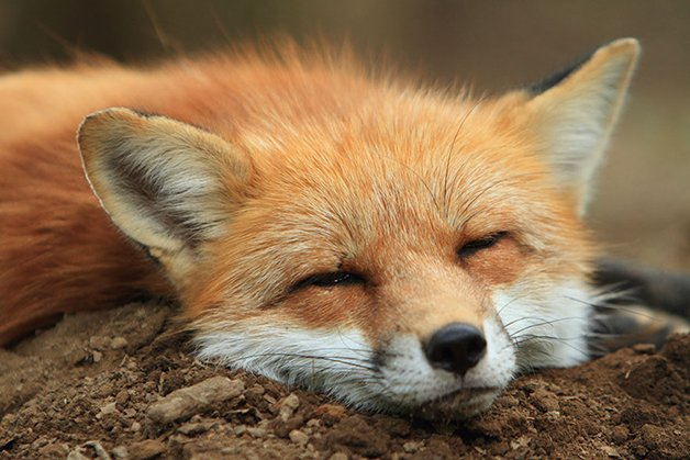 FoxVillage2