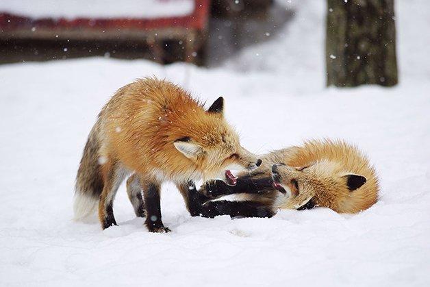 FoxVillage3