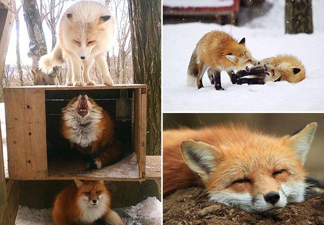 Conheça a incrível ilha no Japão dominada por raposas