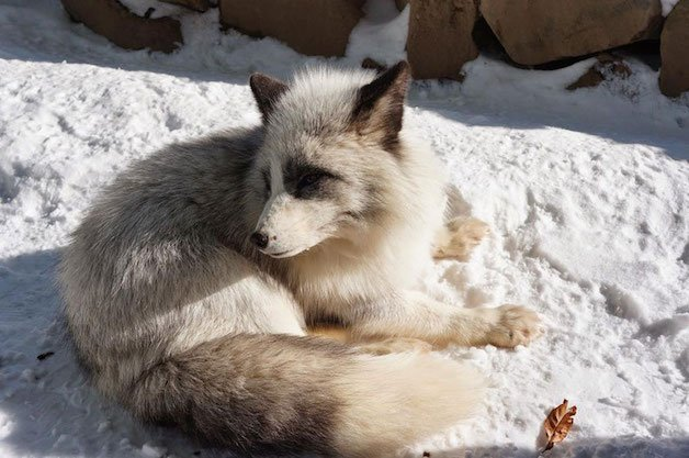 raposa 11 branca