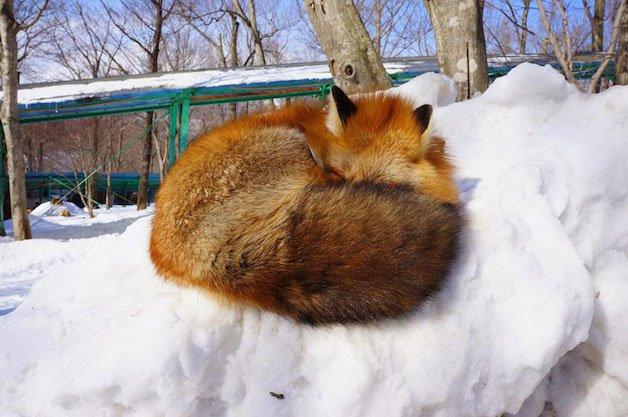 raposa 14 dormindo