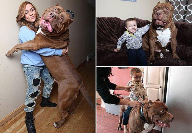 Conheça um dos maiores pit bulls do mundo que pesa 78 kg e adora brincar com crianças