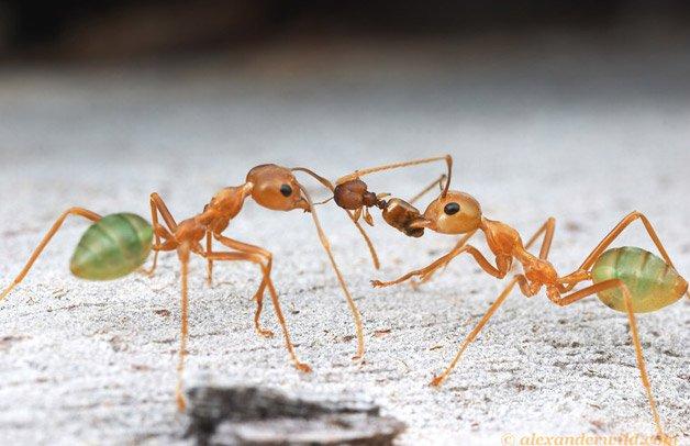 Formigas2