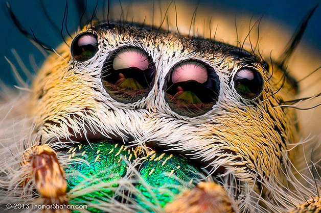 JumpingSpiders1
