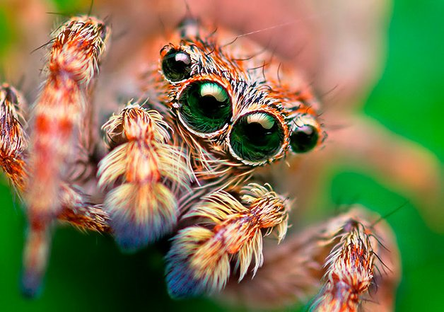 JumpingSpiders2