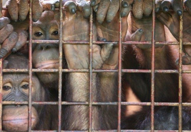 Tráfico sexual de orangotangos para prostituição mostra que ainda precisamos lutar muito pelos direitos dos animais