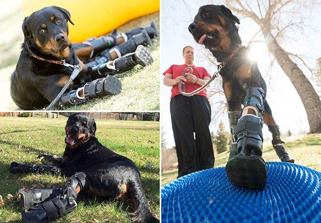 Cachorro que perdeu as 4 patas volta a andar com ajuda de prótese inovadora