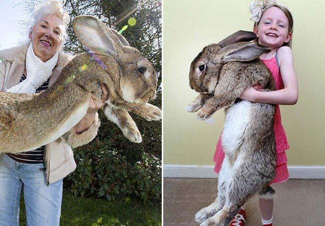 Conheça o maior coelho do mundo, que tem o tamanho de um cachorro