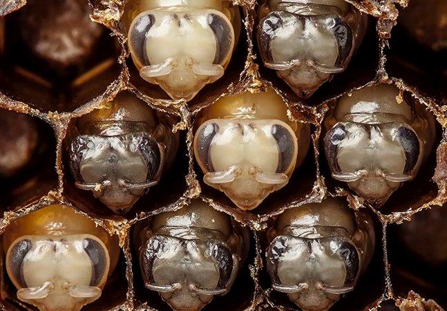 Os primeiros 21 dias de vida de uma abelha resumidos num timelapse hipnotizante de 60 segundos
