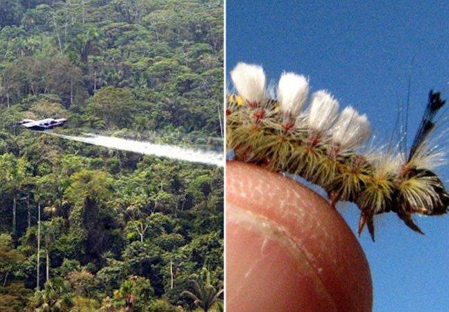 Como um pequeno inseto está ajudando o governo da Colômbia a acabar com as plantações de cocaína