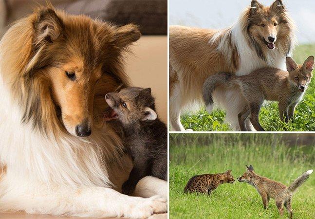 Cachorra adota filhote de raposa que ficou sem pais em um acidente de carro