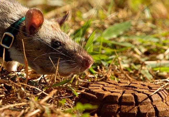 Saiba como ratos estão sendo treinados para identificar minas terrestres e salvar milhares de vidas