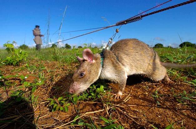 ratos-minas-terrestres