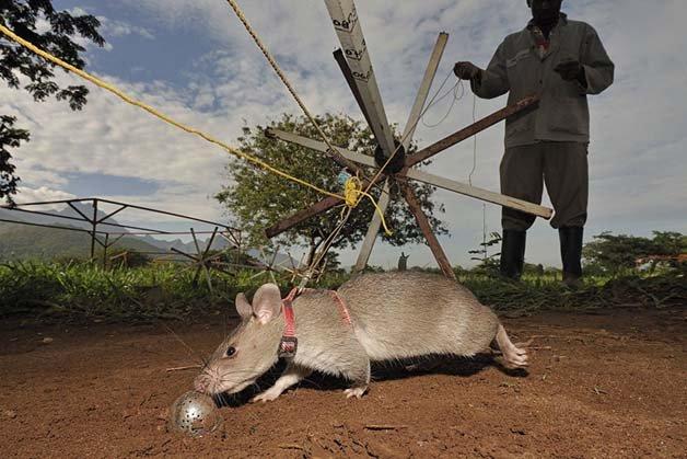ratos-minas-terrestres11
