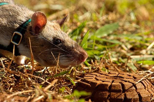 ratos-minas-terrestres2