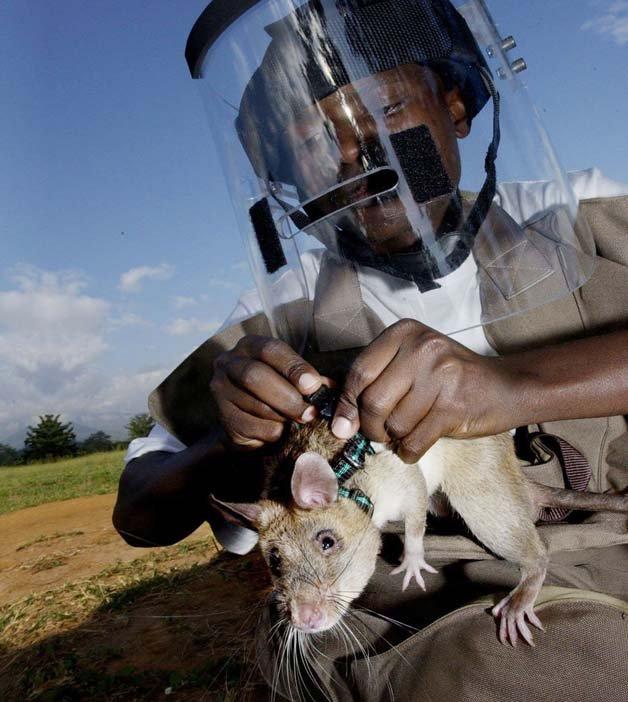 ratos-minas-terrestres3