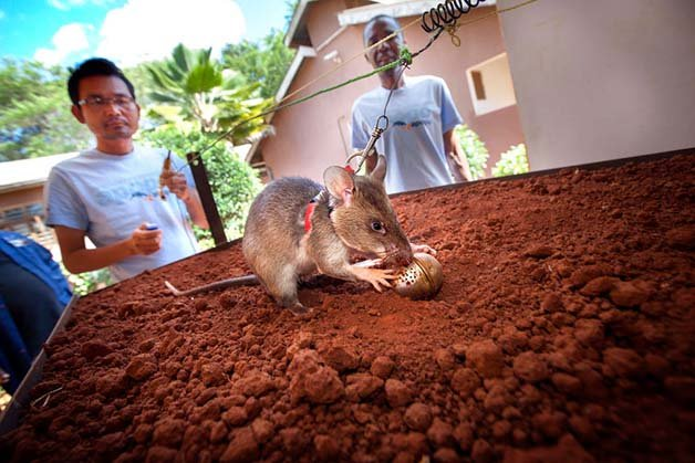 ratos-minas-terrestres4