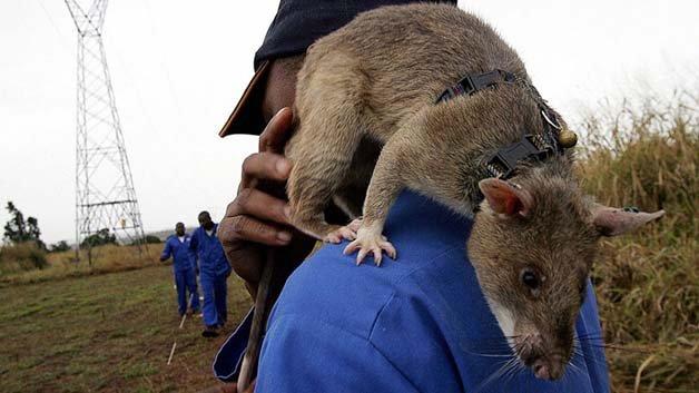 ratos-minas-terrestres5