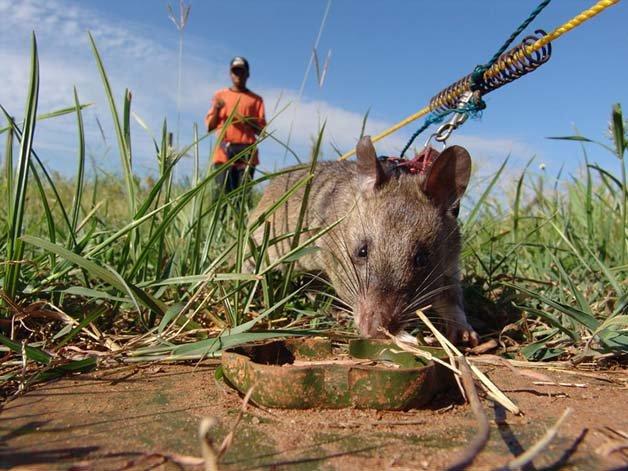 ratos-minas-terrestres6