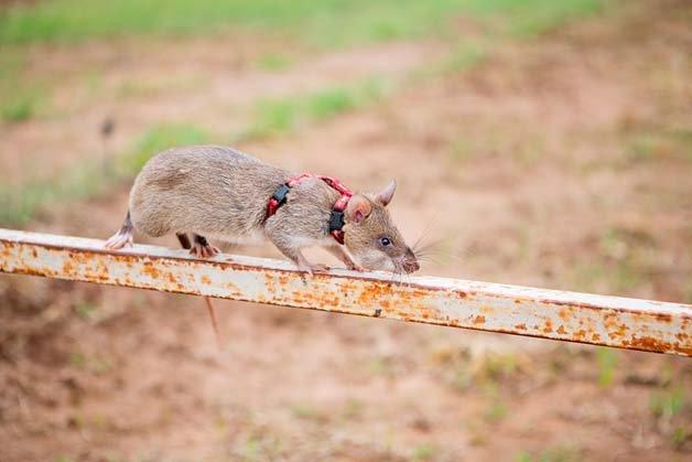 ratos-minas-terrestres9