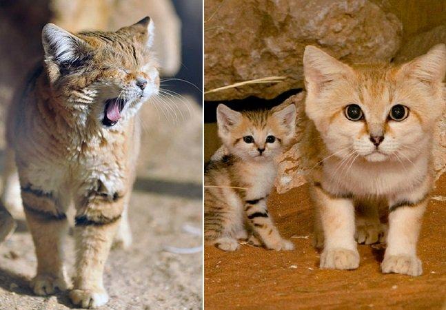 Gatos do deserto: a curiosa espécie em que felinos adultos se parecem sempre com filhotes