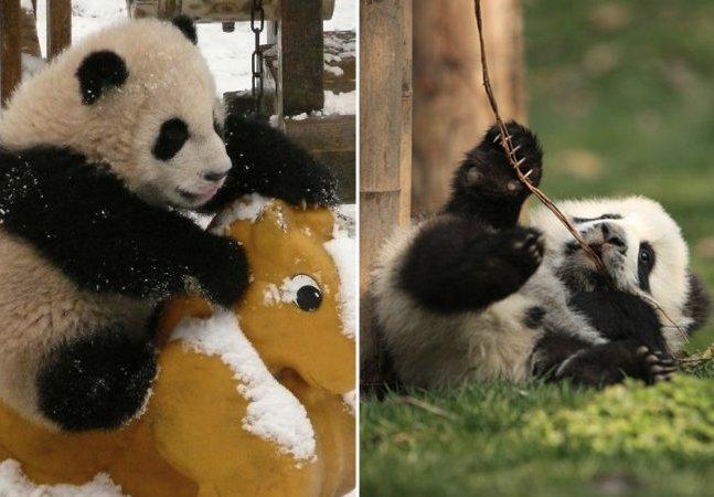 Série de fotos mostra a vida de pandas gigantes em risco de extinção num refúgio na China