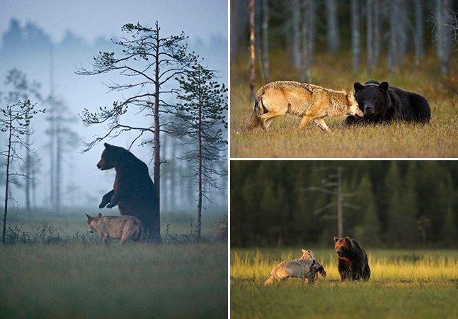 Fotógrafo registra a improvável amizade entre um urso e uma loba