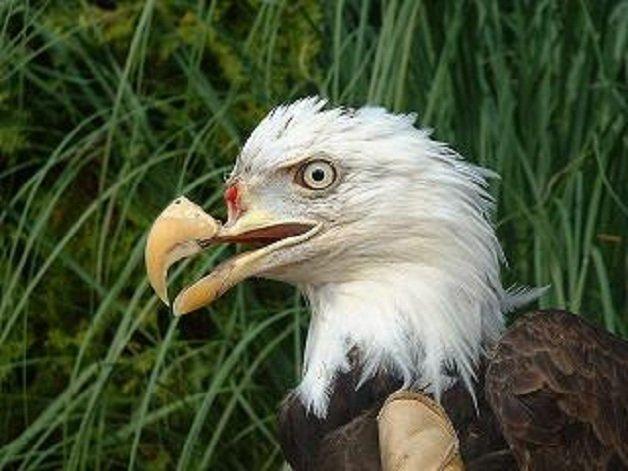 aguia2