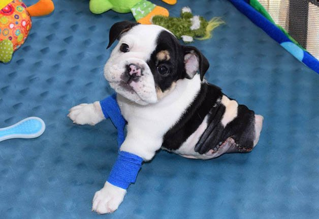 BonsaiBulldog